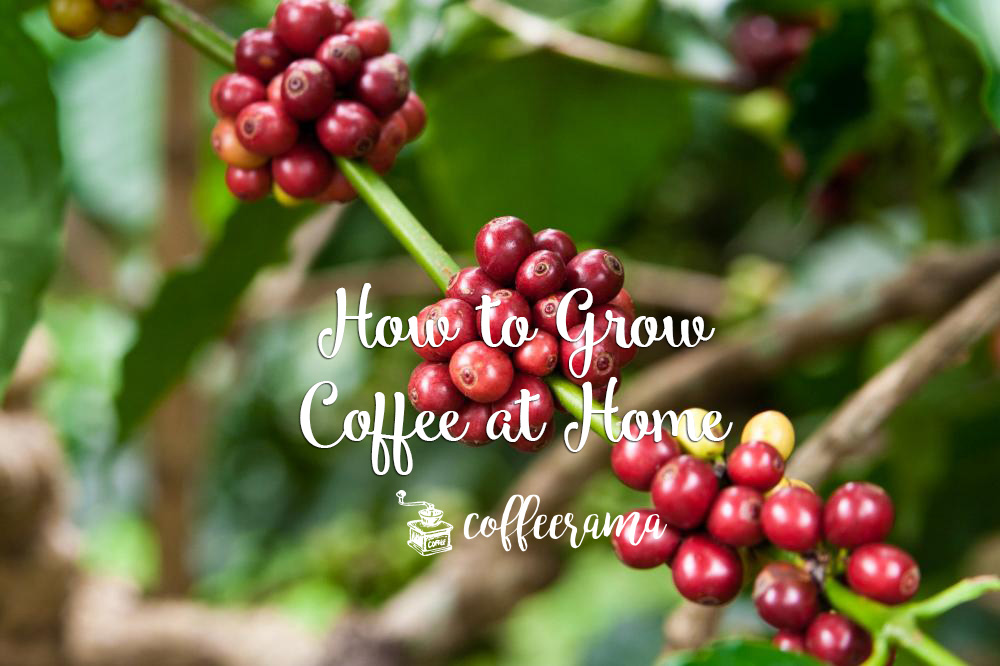 There S Something Absolutely Fulfilling When It Comes To Growing Your Own Coffee At Home Not Only Means Having A Special Supply Of